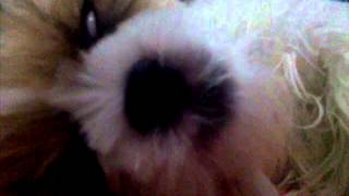 Do You See My Shih Tzu's Mouth ?