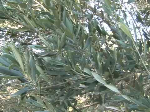 Ancient Trees Throughout Israel