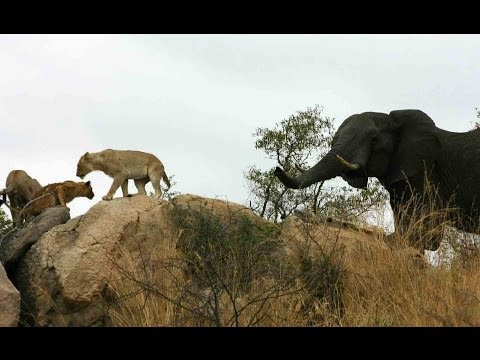Elephant And Lion Interaction - Latest Sightings
