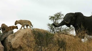 elephant and lion interaction latest sightings