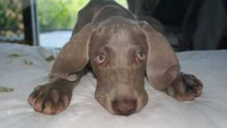 Weimaraner Song  [little Grey Ghost]