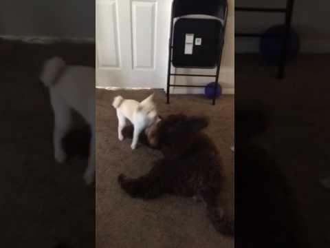 Shiba inu vs giant poodle