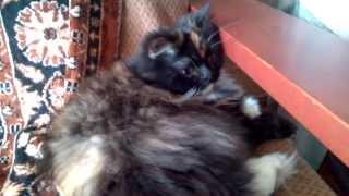 Кошка Мария (перс черепаховый)  #135 Планшет