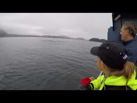 Whale Watching in Hoonah Alaska   July 2017   There are 4 Orca Whales Hunting Seals