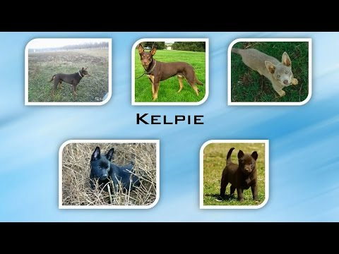Kelpie by World of Dogs