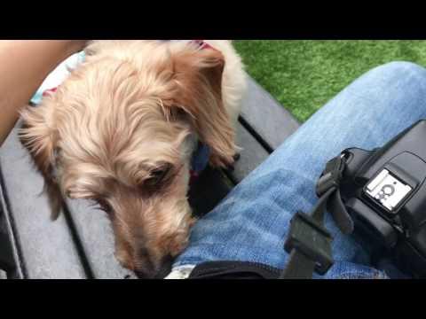PIGGY A1112011 9 y/o neutered Maltese dachshund mix on MACC ARL