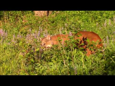 Mountain Lion Kitten In Grass Crying, Female Looking For Her Cub