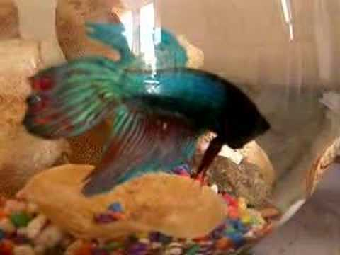 Betta fish aggressive towards camera youtube for Betta fish personality