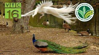 Cách thuần hóa chim công, bán giá nghìn đô | VTC16