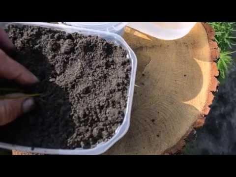 Как вырастить лотос из семян. Часть 2 пересадка в контейнер