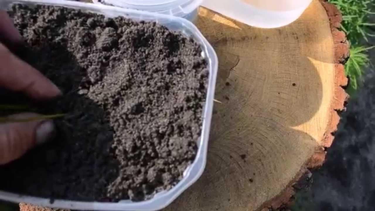 Размножение лилии чешуйками. Много бесплатных луковиц из одной .