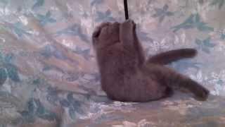 голубой вислоухий котенок 06 3