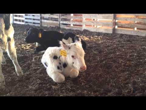 A baby calf moos