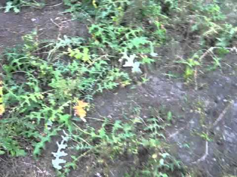 Мордовник шароголовый - растение медонос России l
