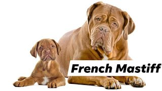 Cheap price French mastiff puppies for sale in Delhi and India ||9711696640||