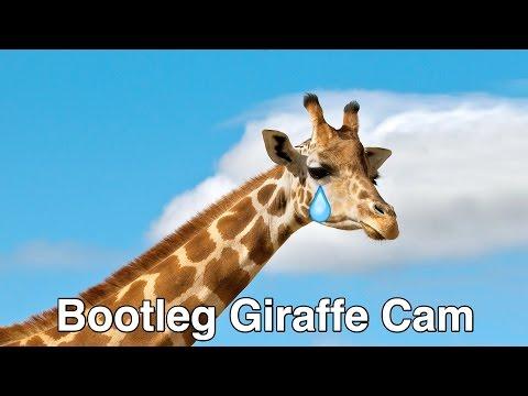 Bootleg Giraffe Cam