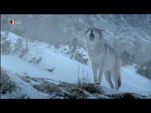 wolfsgeheul