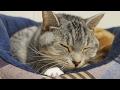 cute cat kneading / 【猫 かわいい】ふみふみ、もみもみ、する甘えん坊な猫