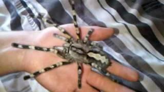видео poecilotheria fasciata