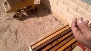 Bees تربية النحل بجامعة الملك سعود الجزء الثاني