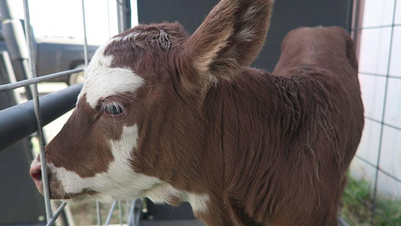 beef cattle veterinarian dr - 1280×720