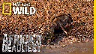 Croc Sneak Attack   Africa's Deadliest