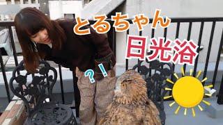 屋上のフクロウ、トルちゃんの日光浴【Rooftop owl, Tru-chan sunbathing】 thumbnail