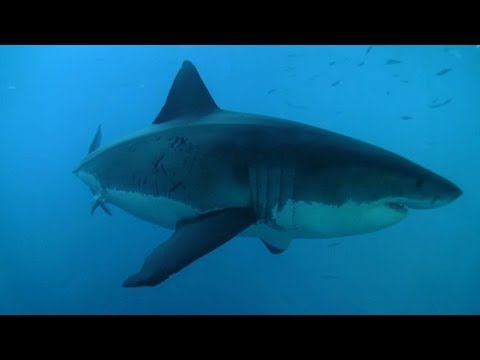 Great White Shark Secrets Revealed