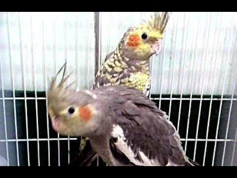 My intelligent and beautiful birds - Akıllı ve güzel kuşlarım - Мои умные и красивые птицыиз YouTube · Длительность: 1 мин36 с