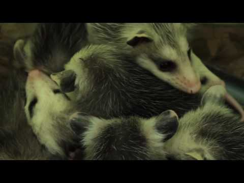 The Awesome Opossum