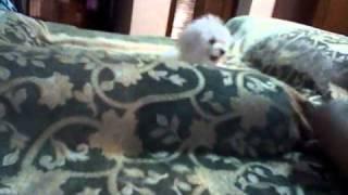 My Hyper Maltese Jumping Around