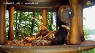 Zięba i Wiewiórka w karmniku dla ptaków nad Soliną