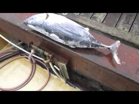 Tuna fresh off the boat on Salt Spring Island