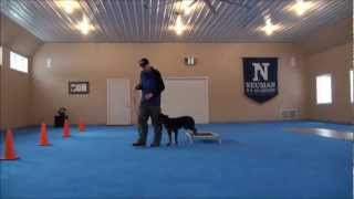 Nikko (rottweiler) Dog Training Video