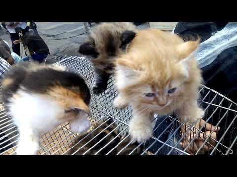 قطط شيرازي مون فيس -  cute kittens moon Face
