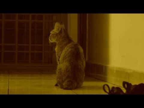 Malaysian Cat