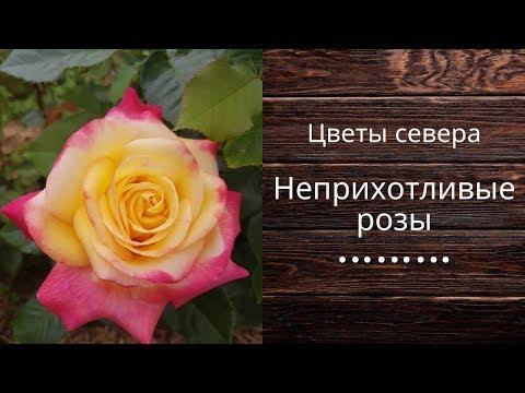 Неприхотливые розы на даче