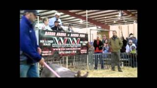 WD Swine Farms' $380,000 Crossbred Boar, '13 Fall Classic
