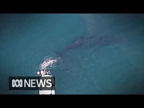 Humpback whale calf rescued off Australia's Gold Coast while mother watches on | ABC News