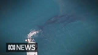 Humpback whale calf rescued off Gold Coast while mother watches on