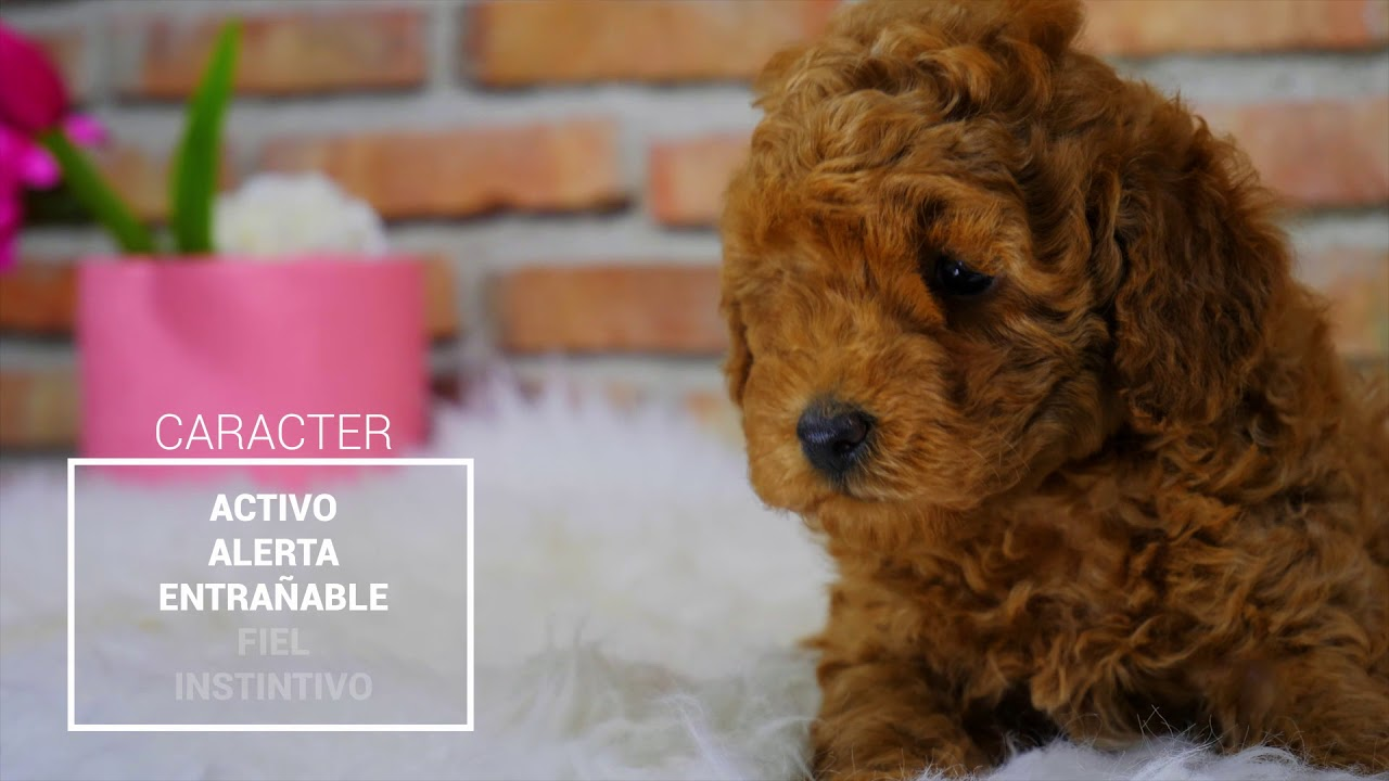 Buy Toy Poodle Puppies Corralet Dog Breeding And Sale