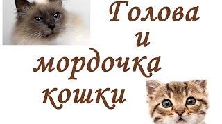 ГОЛОВА и МОРДОЧКА кошки