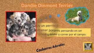 Cachorros Dandie Dinmont Terrier