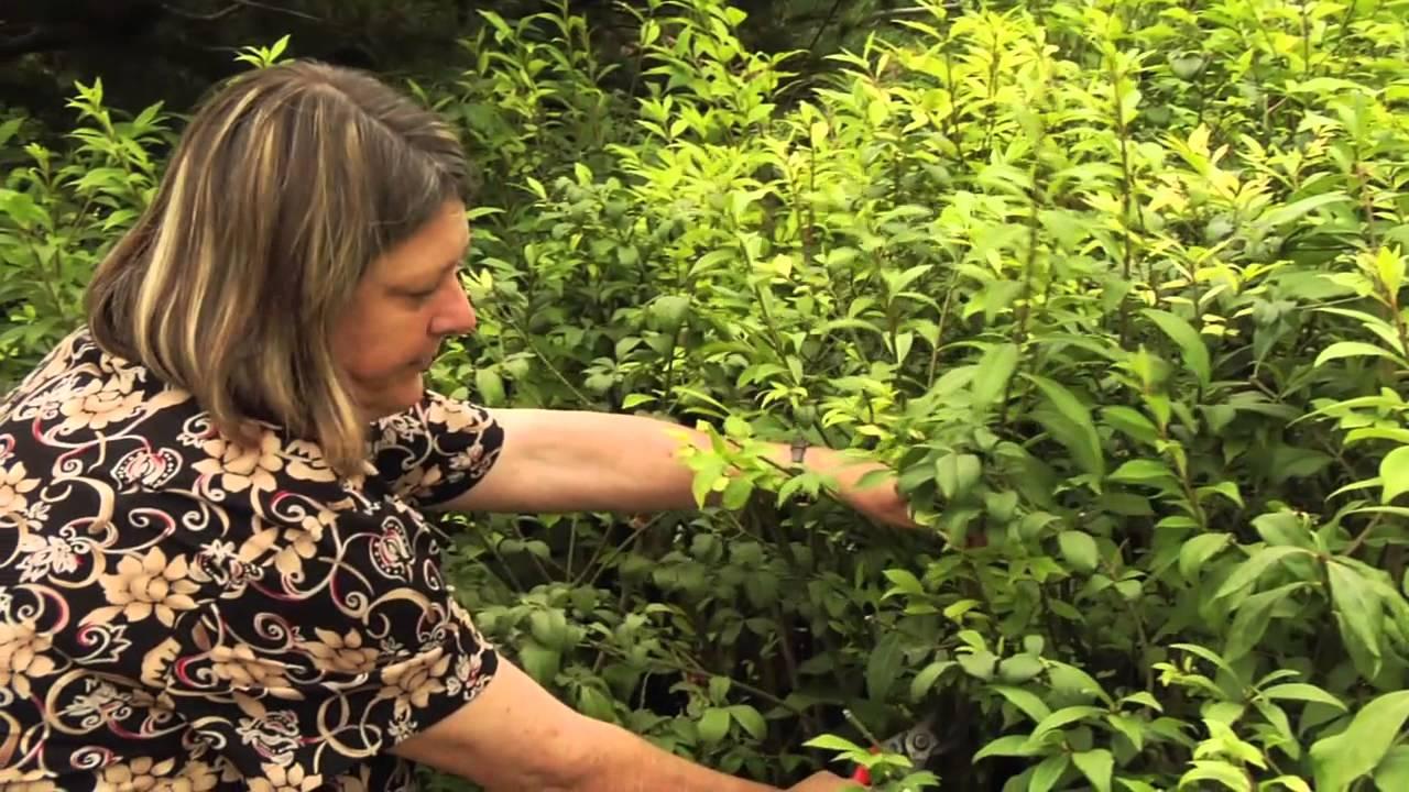 How To Prune Euonymus Alata Burning Bush Instructional