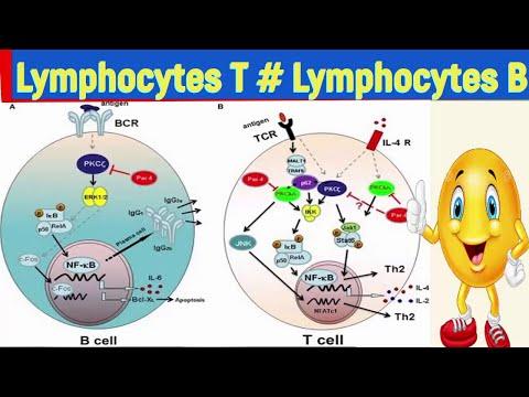 la diff rence entre les lymphocytes t lt et les lymphocytes b lb youtube. Black Bedroom Furniture Sets. Home Design Ideas