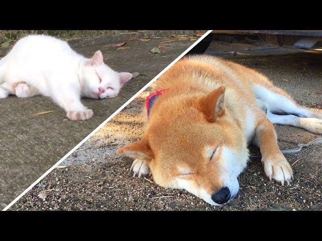 番犬の仕事中に天敵の野良猫と仲良く昼寝してしまう柴犬 Shibe took a nap with his natural enemy's stray cat while watchdog job.