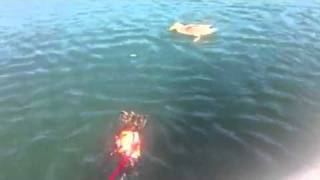 Yorkie Jumps Off Boat To Play With Duck
