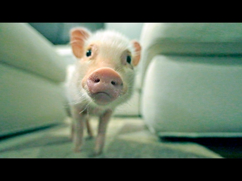 Why Hank the Mini Pig Is Our New Best Friend