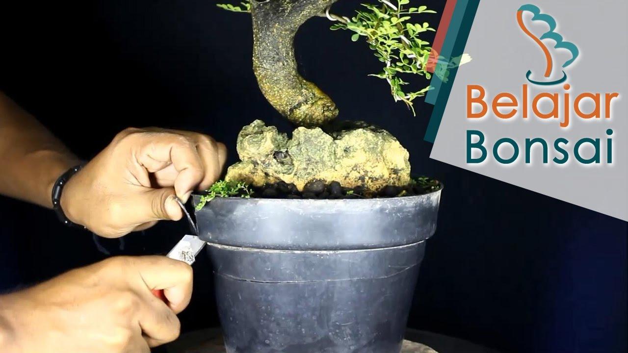 Belajar Membuat Bonsai Kawista Di Atas Batu Potong Pot Youtube
