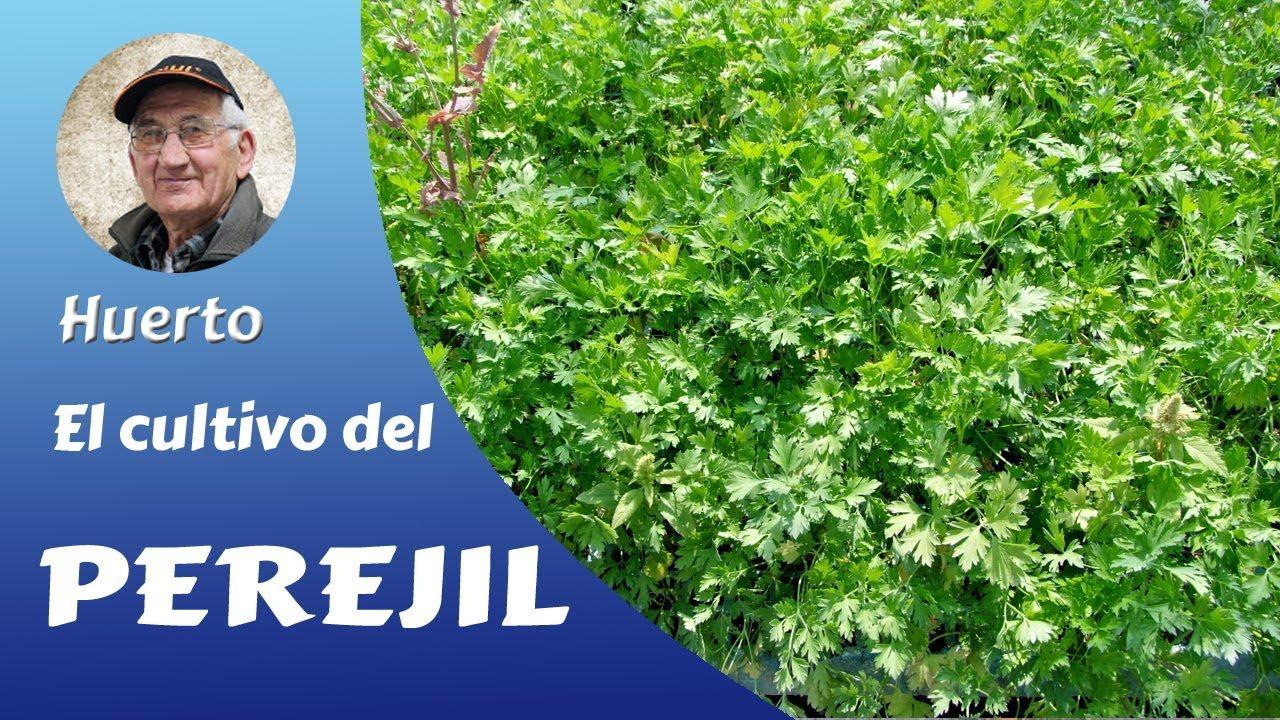 El cultivo del perejil gu a completa youtube for Sustrato para mesa de cultivo